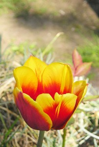 Bis die Tulpen draußen blühen dauert es wohl noch ein wenig, also schöne Osterkarten mit Blumenmotiven bestellen! (@Photo by Maja Dumat, Creative Commons, http://creativecommons.org/licenses/by-nd/2.0/deed.de).